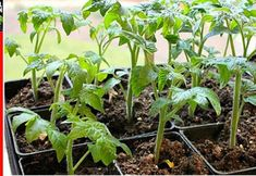 Use of oxygenated water in the garden. Effects of hydrogen peroxide on plants – Tomatoe Planting - Growing Plants at Home Summer House Garden, Home And Garden, Compost, Tomato Plants, Small Farm, Companion Planting, Growing Plants, Vegetable Garden, Beautiful Gardens
