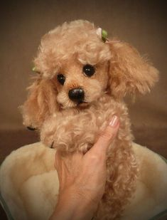 """Tuffy"" the Poodle Palm Puppy.I'd say this was a real pup but the toes looked stitched Needle felted poodle ? Cute Puppies, Cute Dogs, Dogs And Puppies, Doggies, Cortes Poodle, Baby Animals, Cute Animals, Poodle Cuts, Tea Cup Poodle"