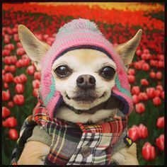 This #chihuahua lives in Tokyo, Japan. | You Need This Extremely Fashionable Dog In Your Life