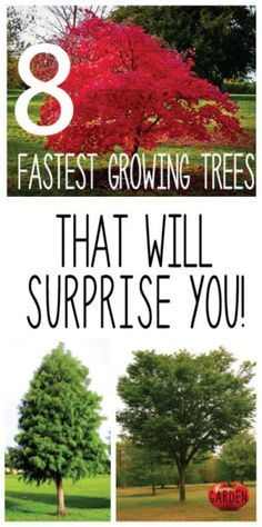 Need a tree that will grow and mature quickly?  Look no further.  Click the pin to learn all about the amazing...