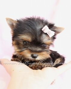 Browse tiny Teacup, Micro Teacup and Toy Yorkshire Terrier puppies for sale. Browse to find the tiniest and cutest Yorkie puppies for sale in South Florida area Puppies And Kitties, Yorkie Puppy, Cute Puppies, Cute Dogs, Doggies, Baby Yorkie, Tiny Puppies, Teacup Yorkie, Teacup Puppies
