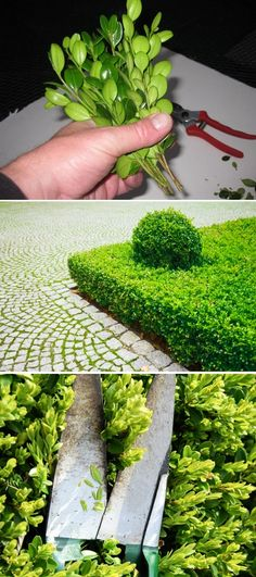How to grow boxwood from cuttings. In the spring, take stem cuttings, 6 inches in length, and remove the lower inch of leaves. For best effect, group five to seven stems together, as pictured, to resemble an entire plant. Plunge this group into soil that