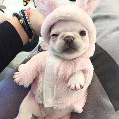 """25.9k Likes, 485 Comments - French Bulldog (@frenchie.world) on Instagram: """"Baby rabbit mood 🐰🐇❤ @f_vely . . . . #frenchie #frenchieoftheday #französischebulldogge…"""""""