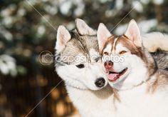 Pair of siberian husky at winter — Stock Photo © kalinovsky #5427694