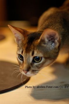 abyssinian cat breed information