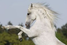 Alter-Real - Horse Breeds information and Pictures Alter Real, Horse Ears, All About Horses, Powerful Images, Friesian, White Horses, All Gods Creatures, Pretty Horses, Horse Pictures