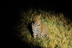 Leopard image taken on a Guided Night Drive in the Sabi Sands Lion Images, Night Photography, Wildlife Photography, Kruger National Park, National Parks, Milky Way Images, Male Lion, Nocturnal Animals