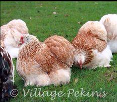 Salmon Pekin Cochin Chickens, Chickens And Roosters, Chicken Pen, Chicken Life, Fancy Chickens, Keeping Chickens, Beautiful Chickens, Beautiful Birds, Pekin Chicken