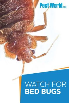 If you have upcoming travel plans, be sure to keep an eye out for bed bugs when staying in hotels or other lodging facilities. This pest is an excellent hitchhiker, able to travel long distances, and can quickly infest your home. Head to PestWorld.org to learn more. Bed Bugs, Pest Control, Trip Planning, Hotels, How To Plan, Eye, Travel, Viajes, Destinations