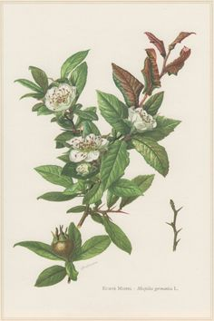 Medlar Tree 1960 Vintage Botanical Print Mespilus germanica