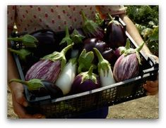 All About Growing Eggplant