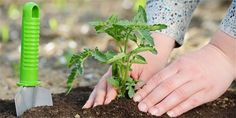 Rajčata sázejte teď: Vše o výsadbě a pěstování Plants, Plant, Planets