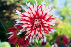 whiten and red flowers pictures   Dahlia Flower Red And White Photograph - Dahlia Flower Red And White ...