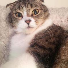 もうすぐランたんのお誕生日🎂✨ プレゼント何がいいかな?σ(・ε・`*) 日曜日までにプレゼント間に合うかな😅w  #愛猫#猫#ねこ#cat#고양이#Māo#動物#ペット#宠物#pet#애완동물#スコティッシュフォールド#귀여운#love#可愛い#にゃんすた#にゃんすたグラム#みんねこ#ねこ部#もうすぐ#誕生日#プレゼント#間に合うかな#悩む#followme