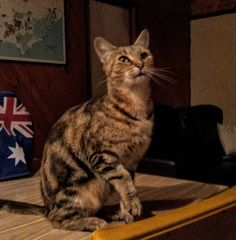 #cat #cats #catsofinstagram #hostel #newfriend #bestfriend #apollobay #apollobaybeach #greatoceanroad #victoria #australia #aus #oz #2016 #catontable #cute #kitty #tigerstripes #hungry #travel #travelling #travelgram #instatravel #meow by halcatlin