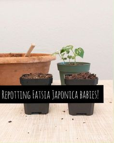Fatsia Japonica are some of my favorite houseplants to grow from seed, they're a little more challenging than some others, like the polka dot plants for instance, but they're not quite so difficult and slow-growing as say the Philodendron Selloum. So here's a little repotting video of some seedlings! 🌱 The next post will be some progress photos for the seedlings. Shop houseplant seeds at Plantflix.com! Music: Be.There.4.U⁣ Artist: Jeff Kaale⁣ #seedling #indoorgarden
