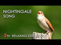 Nightingale Song - (Relaxing Nature Video 3 Hours) Relaxing clear sound of Nightingale singing accompanied by the gentle rippling of a peaceful river flowing through a lush green forest. Sounds Of Birds, Nature Sounds, Nightingale Bird, Animiertes Gif, Relaxation Meditation, Nature Music, Videos, Relaxing Music, Sound Of Music