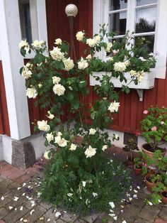 Ilse Krohn in our garden. Jennysvitavillervalla.blogspot.se