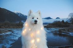You Light Up My LIfe #samoyed #samoyedsofinstagram #vancouverdogs #vancitydogs #ilovemydog #dogsofinstagram #samoyedofinstagram #instadog #zerothesamoyed #zero #samoyeds #weeklyfluff #houndsbazaar #bestwoof #dogfeatures #dogsofinstaworld #igfluff #topdogphoto #excellent_dogs #adventurewithdogs #dogsonadventures #getoutthere #dogphotography #dogphotographerforhire #pittlake #mountains #samoyedsrule ~~~~~~~~~~~~~~~~~~~ Discount Codes @handsomemountain 10% 5DOGS4HM