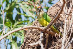 Periquito-rei O periquito-rei (Eupsittula aurea) é uma ave psittaciforme, das mais conhecidas e abundantes representantes da família Psittacidae em nosso País. Conhecido também como periquito-estrela, ararinha e cabecinha de coco (Goiás), jandaia-estrela, jandaia-coquinho, aratinga-estrela, coquinho-de-ouro, jandaia, ararinha, maracanã-de-testa-amarela (Amapá) e periquito-cabeça-de-coco (Minas Gerais).  Não é considerado ameacado. Embora seja comum e muito abundante, já desapareceu de grande