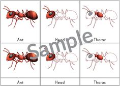 Ant 3-part cards featuring 10 cards related to ant anatomy: ant, abdomen, antennae, eyes, gaster, head, legs, mandibles, petiole, and thorax. #ants #insects #montessori || Gift of Curiosity