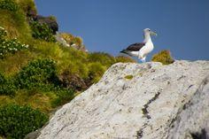 Buller albatross on the Snares