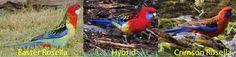 An Eastern/Crimson Rosella hybrid (Platycercus eximius × P. elegans). This bird was named as a species (P. erythropterus Salvadori 1891).-macroevolution.net (@Macroevo) | Twitter
