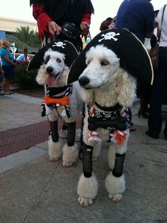 cooper and miles dressed as pirates, standard poodles