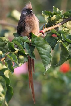 Speckled Mousebird - Colius striatus by Ofabio