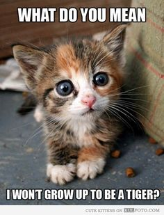 """Kitten got the bad news - Cute kitten making disappointed face: """"What do you mean I won't grow up to be a tiger?"""""""