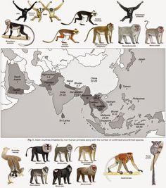 bornean orangutan infographic - Google Search
