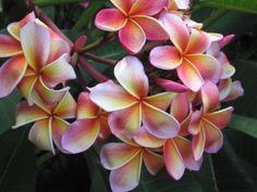Le frangipanier : conseils d'entretien pour cet arbuste exotique adapté à la culture en intérieur, apprécié pour ses fleurs parfumées.