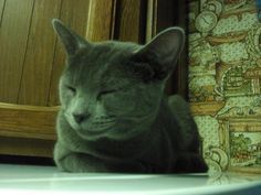 Blues Girl-The Little 3 Legged Russian Blue | the animal rescue site | Read heartfelt stories of rescue, and share your rescued animal stories with others. Click to read about  how Blues Girl came to be rescued. Just look at that smile ~