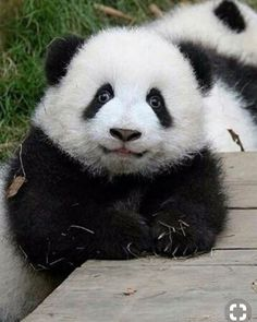 In order to use this a panda bear as tour dont hesitate. Cute Funny Animals, Cute Baby Animals, Animals And Pets, Nature Animals, Panda Funny, Cute Panda, Beautiful Creatures, Animals Beautiful, Panda Lindo