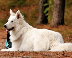 swiss white shepherd (white german shepherd)
