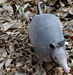 I touched an armadillo for the first time today, and it curled up into a compact little ball. I think I need one in my life.