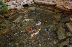 """Stop by the """"Woolley River"""" and see some of the Koi during your stay.  ~ Woolley's Classic Suites, Denver Airport."""