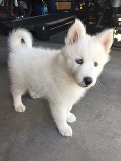 Wonderful All About The Siberian Husky Ideas. Prodigious All About The Siberian Husky Ideas. White Siberian Husky, Siberian Husky Puppies, Husky Mix, Siberian Huskies, Husky Puppy, Cute Husky, Cute Puppies, Cute Dogs, Dogs And Puppies