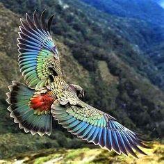 Kea in New Zealand