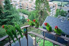 YES!!   HAA HAA!!!  parrots of Telegraph Hill, San Francisco