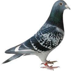pigeon_photo_lrg_B-4608959-.jpg 380×375 pixels