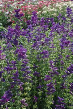 15 Annuals That Grow Great with Roses: Salvia Annual Clary 'Blue' (Salvia viridis)