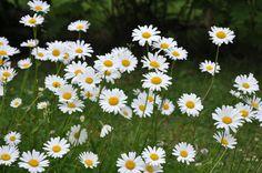 Garden Plants, Perennials, Wild Flowers, Flora, Around The Worlds, Nature, Google, Gardening, Summer
