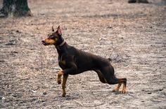 Ready to pounce Rescue Dogs, The Fosters, Horses, Cats, Animals, Dreams, Doberman, Gatos, Animales