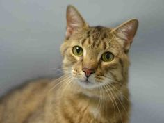 BORDER - A1081584 - - Brooklyn  ***TO BE DESTROYED 08/03/16 *** FOUND AS A STRAY KITTEN….ABANDONED AS A SENIOR!! BORDER and his littermate BLAKE (not listed) have been surrendered for ALLERGIES!! Guess 12 years of love and loyalty mean nothing to this owner!! And apparently they have never heard of allergy meds…..So our handsome guy, BORDER is on a list with 36 other cats and scheduled to die at noon tomorrow unless someone comes to rescue him!! BORDER IS THE WH