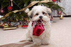 Lhasa apso cachorros en Navidad — Imagen de stock #2219693