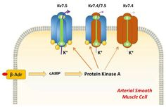 Global Medical Discovery features paper: Kv7.5 Potassium Channel Subunits Are the Primary Targets for PKA-Dependent Enhancement of Vascular Smooth Muscle Kv7 Currents