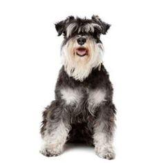 A reader whose Miniature Schnauzer has bitten two children in the space of a week asks Dr Platzhund for advice… Standard Schnauzer, Schnauzer Dogs, Miniature Schnauzer, Schnauzers, Pet Life, Dog Breeds, Miniatures, Pets, Animals