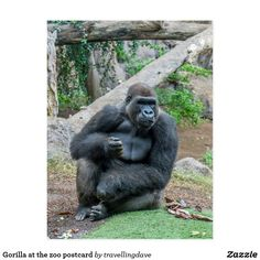 Gorilla at the zoo postcard