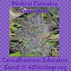 Medical #cannabis cultivation and #CannaBusiness education at a live seminar near you! Enroll @ http://420college.org  #Purps